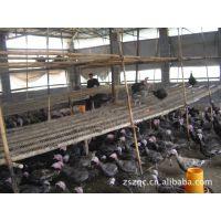 供应 2013优质青铜火鸡种苗