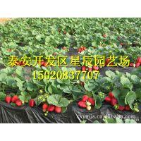 泰安基地大量供应丰香草莓苗 深受欢迎的草莓苗 脱毒草莓苗 低价热卖中