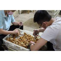 厂家直销健康鸡苗 高产蛋 海兰褐蛋鸡