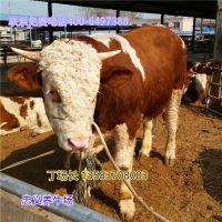 广东鲁西黄牛改良牛犊价格