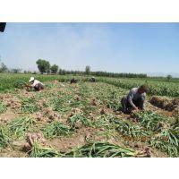供应大蒜种子的管理方法北京的大蒜种子厂家