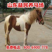 矮马养殖场直销德保矮马价格 阿拉伯马 宠物马 质优价廉