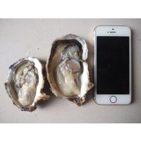 台山生蚝批发价格 鲜活牡蛎海蛎子多少钱
