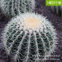 迷你盆栽 沙漠植物仙人球批发 室内外绿化盆栽 绿色小植物盆景