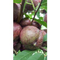供应优质嫁接新品种紫血桃