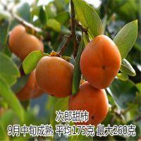 苗圃供应甜柿子苗 2公分柿子苗价格