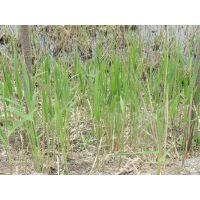 供应那里芦苇根、那里有芦苇苗基地、芦苇基地、芦苇根价格