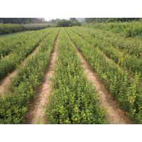 壹棵树农业供应枸橘苗 嫁接砂糖橘的优良砧木 规格30公分以上 成活率99%