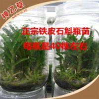 厂家生产 正宗铁皮石斛瓶苗驯化苗 精品铁皮石斛种苗直销