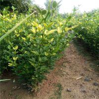 山东枸橘苗批发价格 枸橘苗基地 量大优惠 发货及时
