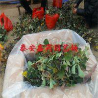 湖南种植山东章姬草莓苗卖多少钱一株