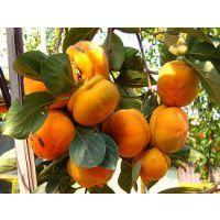 供应优质柿子苗 柿子苗品种及规格 柿子苗图片