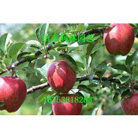 富士苹果苗 富士苹果小苗 富士苹果种苗 富士苹果树苗
