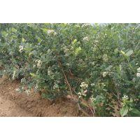 百色蓝莓(在线咨询)_蓝莓苗_蓝莓苗价格