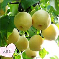 果树苗批发基地 厂家直销水晶梨苗 优质嫁接水晶梨树苗