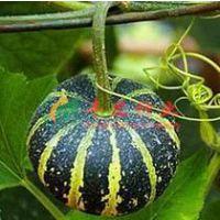 小瓜皮种子 南瓜种子 观赏型蔬菜种子 阳台盆栽蔬菜种子 8粒装