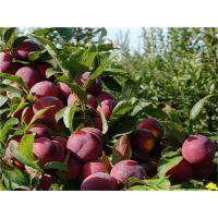 泰安佳丽园艺大量供应优质高产李子苗 价格优惠 易成活 产量高