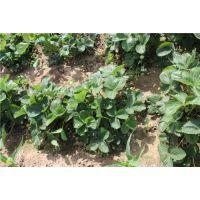 龙鑫苗木(在线咨询)、亳州红颜草莓苗、红颜草莓苗栽培技术