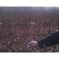 花椒苗价格+大红袍花椒苗价格