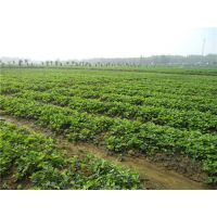 草莓苗移植、合川市草莓苗、仁源农业科技