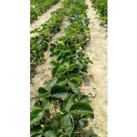 出售全明星草莓苗,价格便宜, 山东草莓苗种植基地