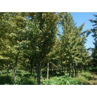 12cm银杏树,石家庄银杏树,绿都园林