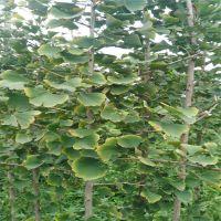 成运苗圃供应庭院植物多年生银杏 行道绿化银杏树 易管理 好成活
