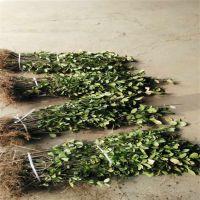 基地直销冬青 园林工程冬青球 专业培育种植规格齐全绿化苗木