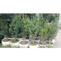 红豆杉苗、红豆杉树、曼迪亚红豆杉苗、曼地亚红豆杉树、紫科一号、抗癌树、抗癌植物。