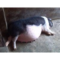 湖南省宁乡县 土花猪 有机养殖 宁乡花猪 肉质细腻且营养价值丰富