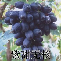 山东平度大泽山 嫁接扦插 紫甜无核葡萄苗 A17 晚熟高产 适合南方种植