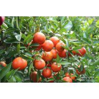 桂林东方红橘果苗基地/桂林哪里有东方红橘果苗卖/桂林东方红橘果苗