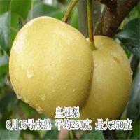 供应优质嫁接梨树苗 黄冠梨苗 8月中旬上市