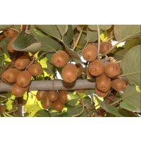 海沃德猕猴桃苗优质猕猴桃种苗