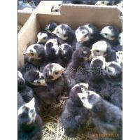 供应优质 快大纯种火鸡苗&江苏的火鸡苗的养殖场