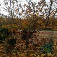宿心园艺场销售樱花 道路绿化 7 8公分左右樱花树