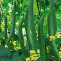鼎牌香丝瓜三比3号种子70粒批发