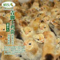 抚州民生农业长期供应青脚土鸡母苗