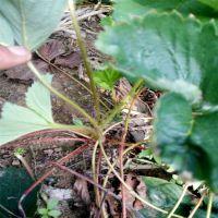 什么草莓苗适合大棚种植?这里的草莓苗适合大棚种植,价格合理
