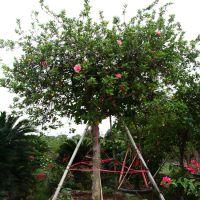 2014新款大型植物苗木批发 扶桑佛槿照殿红 园林植物布置景观批发