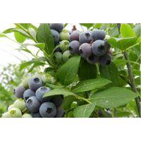 百色农业(图),蓝莓苗采购,北碚蓝莓苗