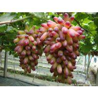 葡萄苗品种 葡萄苗基地 优质现货夏黑葡萄苗价格