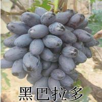山东大泽山新品种 嫁接黑巴拉多葡萄苗 中晚熟葡萄苗品种 早熟高产 南北方种植