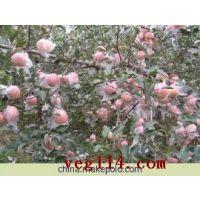 供应供应潍坊苹果