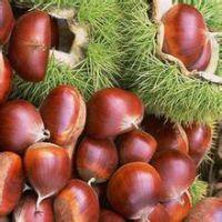 山东嫁接板栗苗品种 大红袍 红光 燕红 优质嫁接板栗苗价格
