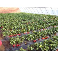 甜宝草莓苗价格,奉贤甜宝草莓苗,仁源农业科技