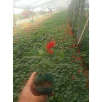 青州绿叶鸡冠花批发|基地|价格