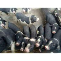 湖南宁乡土花猪 绿色养殖 统一饲养标准 生态农业示范基地