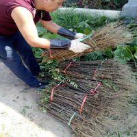 花椒苗批发 大红袍花椒 山东花椒苗种植基地 价格低廉量大优惠