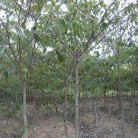 常年供应江苏苗木中华灯台树 自产自销 基地种植 量大优惠 庭院绿化苗木